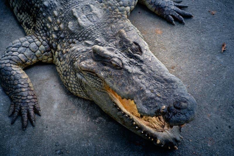 Crocodile à l'au sol et au zoo d'éléphant de Samphran photographie stock