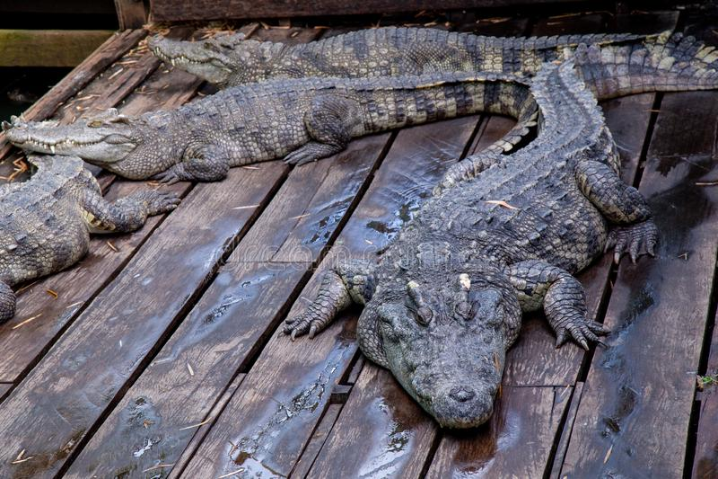Crocodile à la ferme au Cambodge photographie stock libre de droits