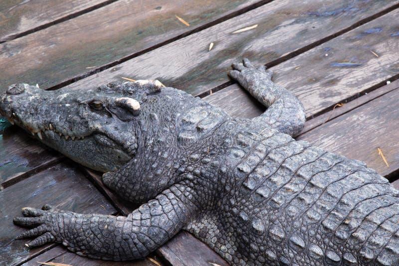 Crocodile à la ferme au Cambodge photo stock