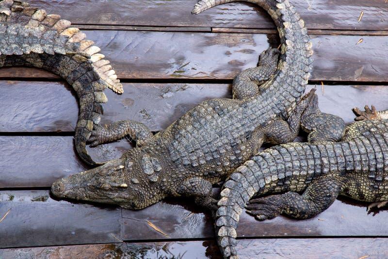 Crocodile à la ferme au Cambodge photos libres de droits