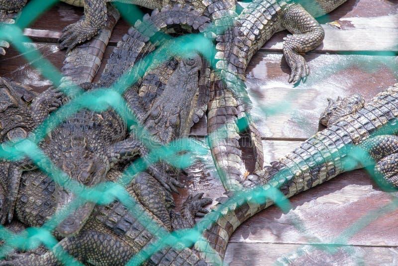 Crocodile à la ferme au Cambodge images libres de droits