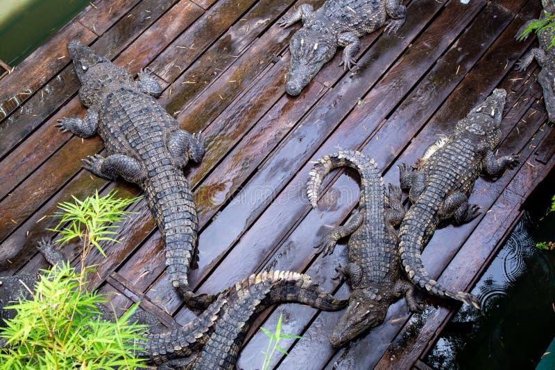 Crocodile à la ferme au Cambodge photo libre de droits