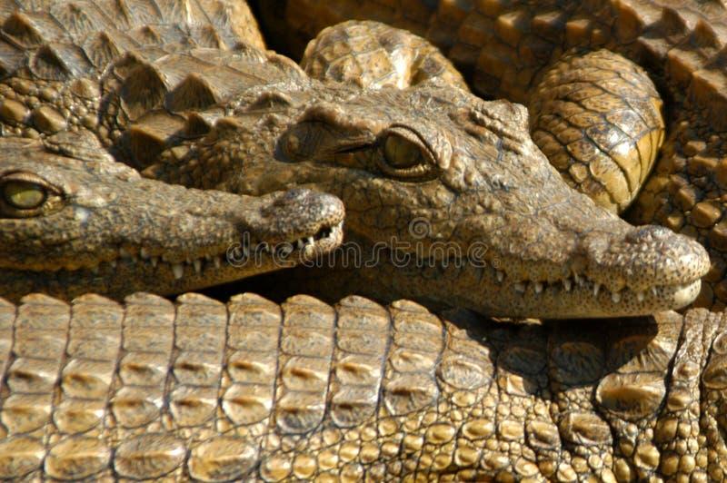 Crocodile 07 Free Stock Photo