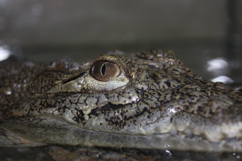 Download Crocodile stock image. Image of prey, hiding, scavenger - 10530229