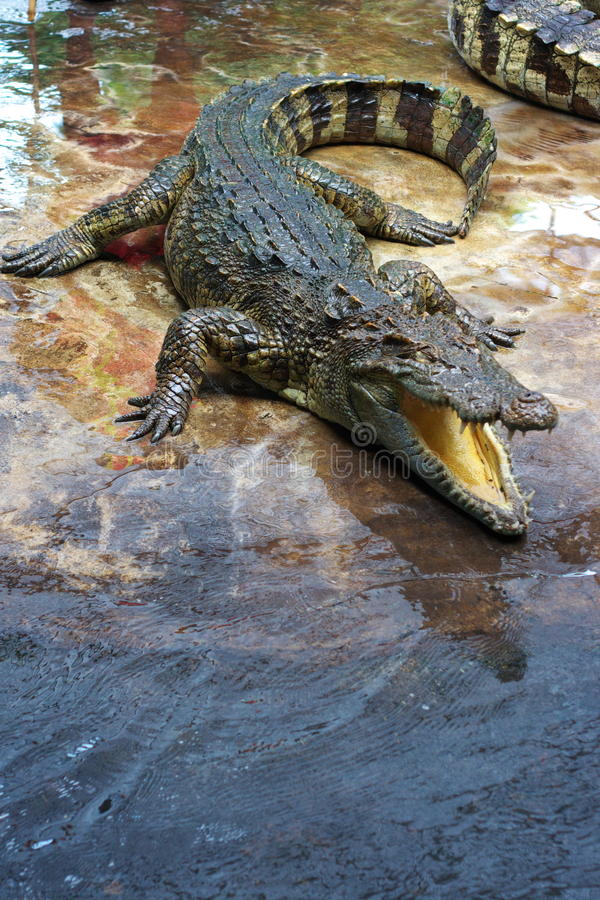 Free Crocodile Stock Photo - 15244170
