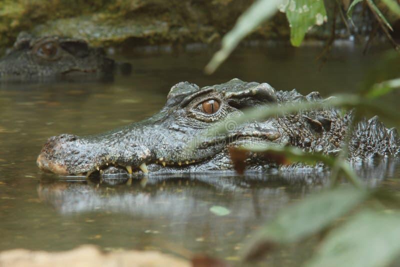 Crocodile, images stock