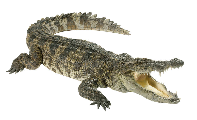 Crocodile isolated on white stock photography