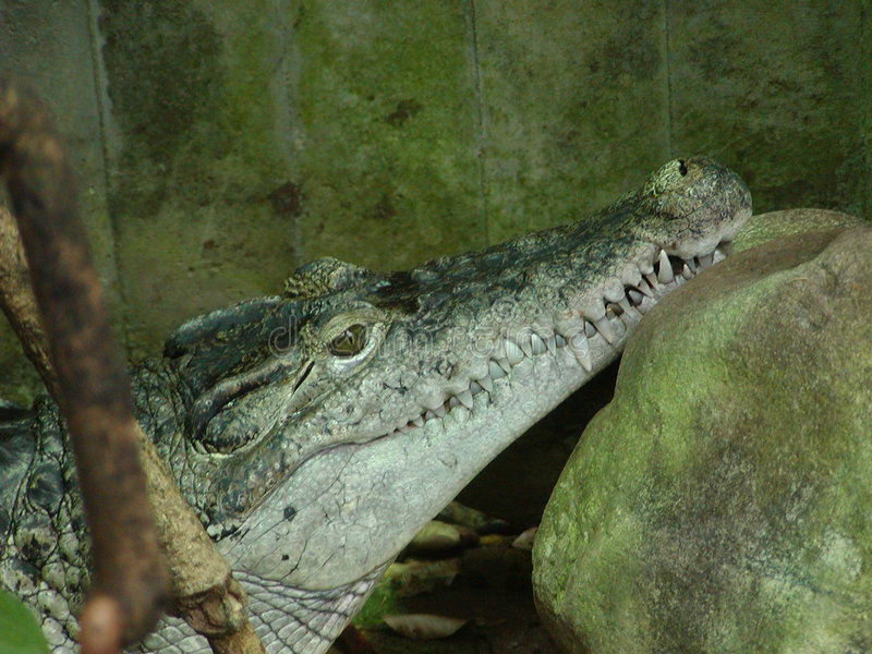Crocodile photo libre de droits