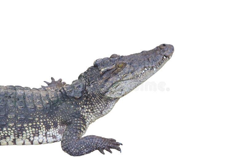 Download Crocodile stock photo. Image of crocodile, isolated, leather - 23885740
