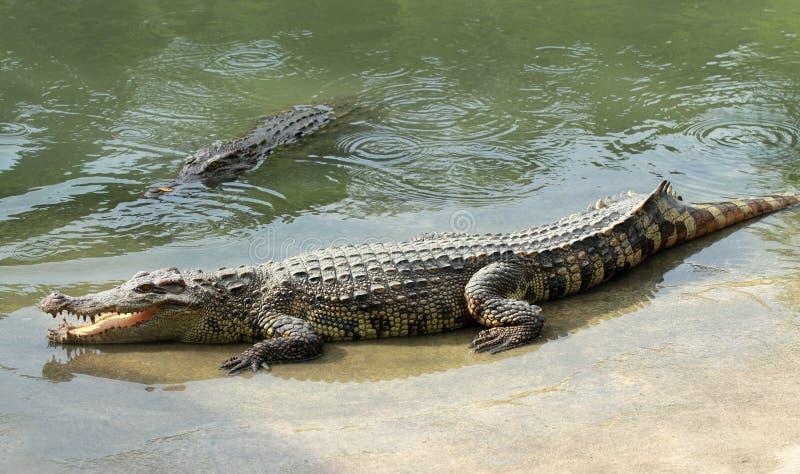 Download Crocodile Royalty Free Stock Image - Image: 26064056