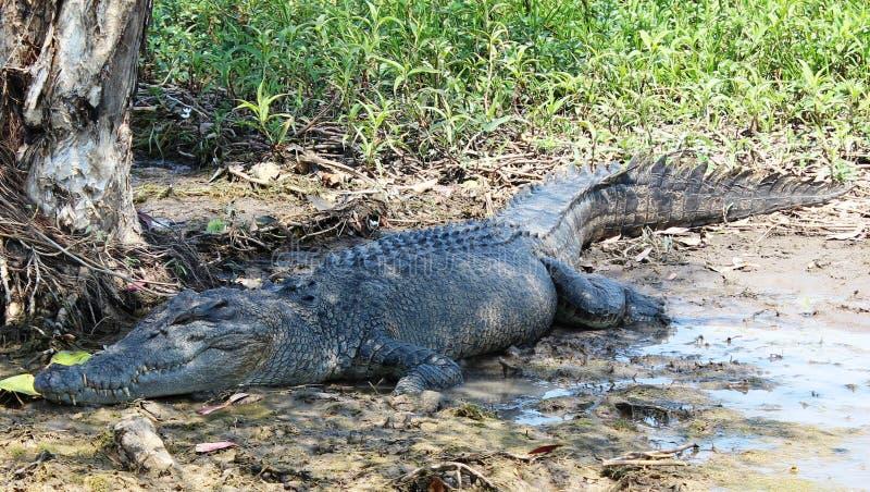Download Crocodile stock image. Image of water, lying, wild, australia - 26630173