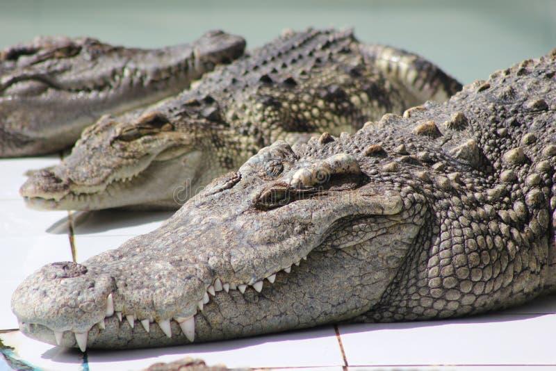 crocodile images stock