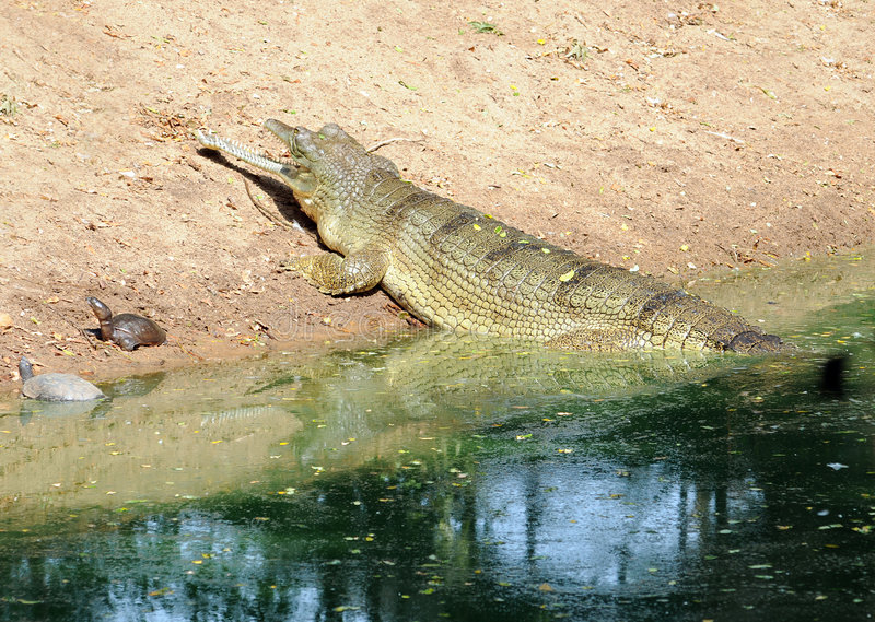 Download Crocodile Royalty Free Stock Photos - Image: 7241278