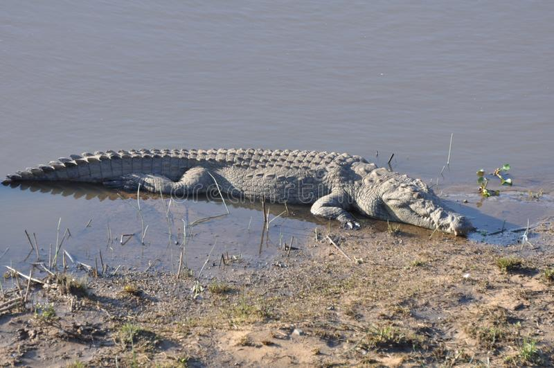Download Crocodile stock photo. Image of southafrika, kruger, crocodile - 83677906