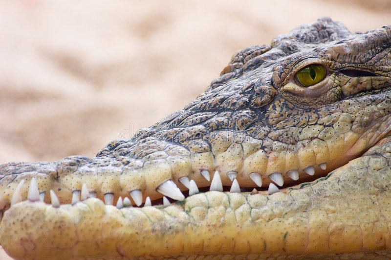 Download Crocodile stock photo. Image of angry, reptile, anxiety - 953080