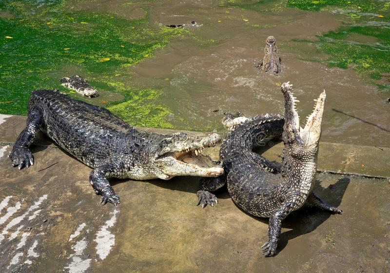 Crocodile Action on the Farm. royalty free stock image
