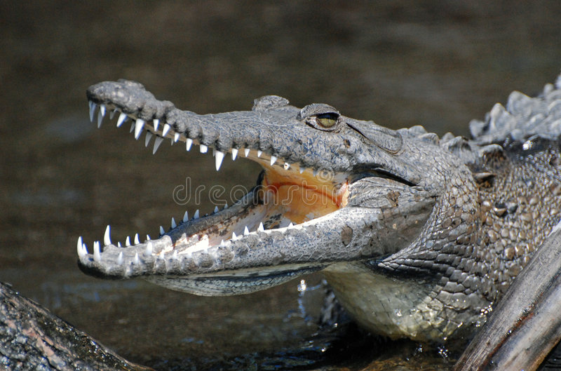 Crocodile affichant des dents photo stock