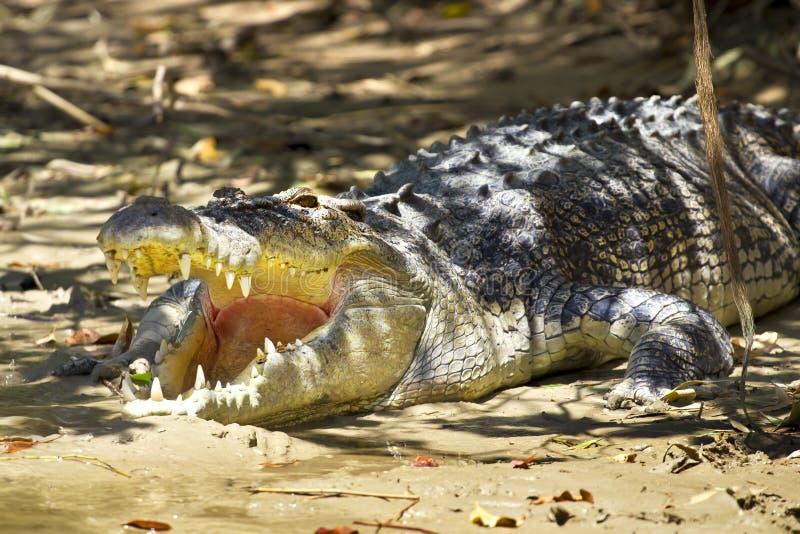 Crocodile agressif photos stock