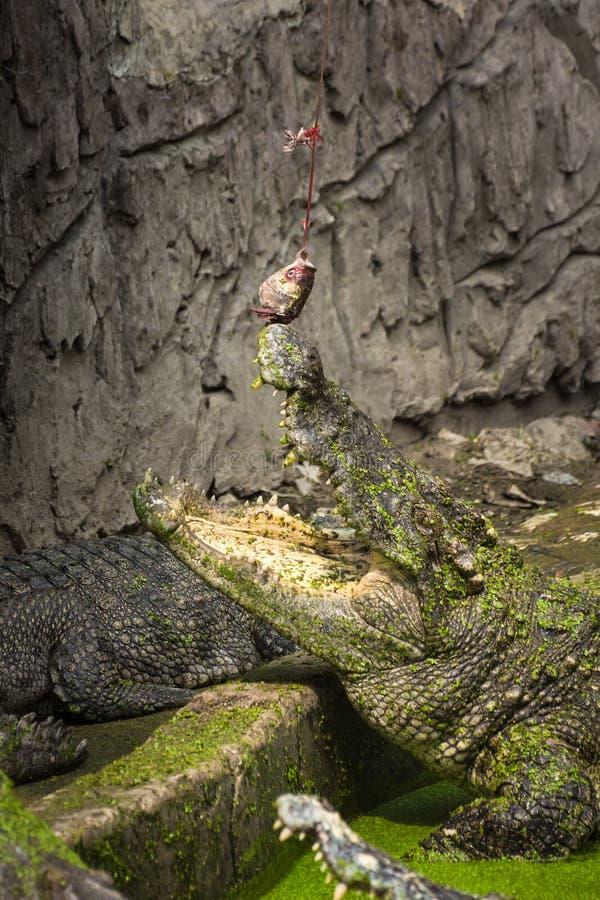Crocodile alimentant, crocodile mangeant un poisson image libre de droits