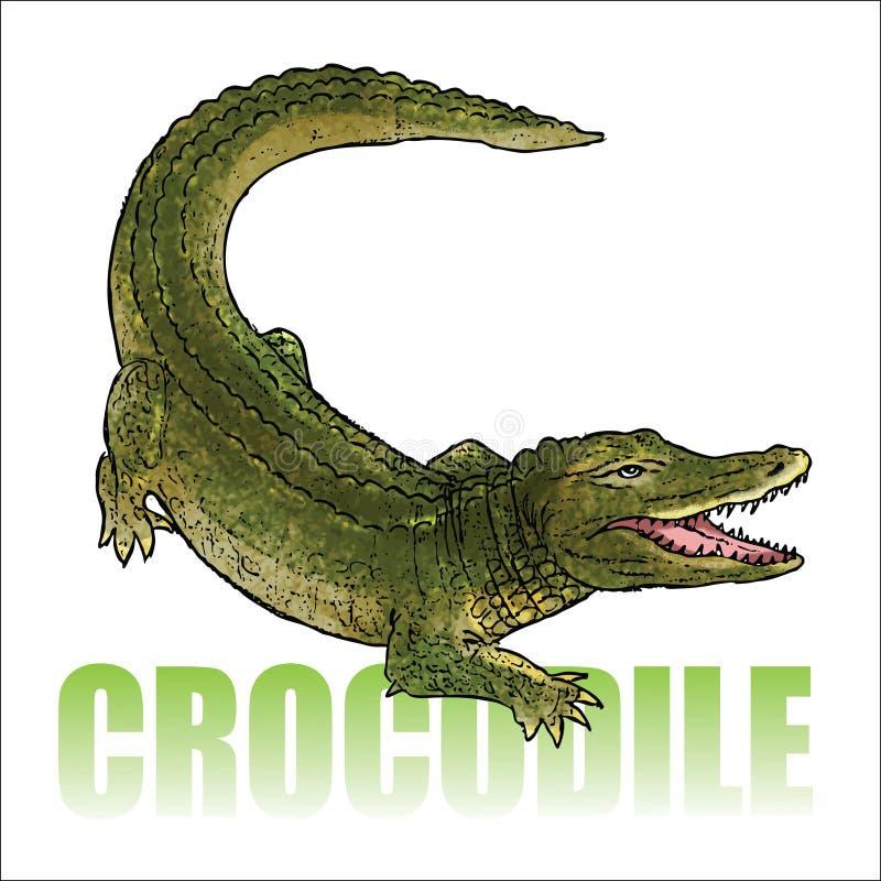 Crocodile - alligator. Vector illustration of crocodile - alligator stock illustration