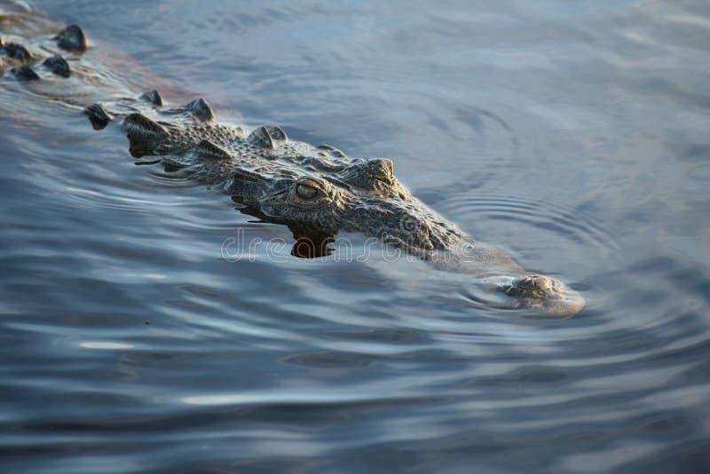 Crocodile américain d'eau de mer dans les marais image stock
