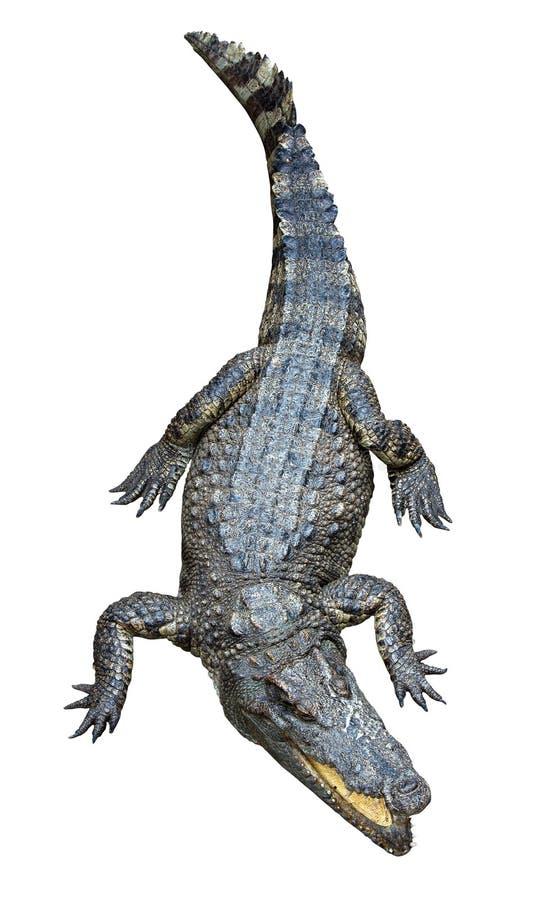 Crocodile asiatique images libres de droits