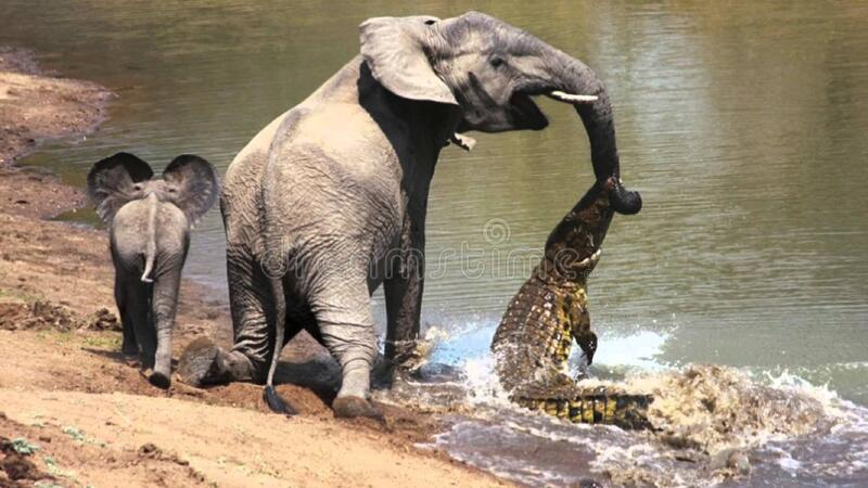 Crocodile Attacks Elephants Free Public Domain Cc0 Image