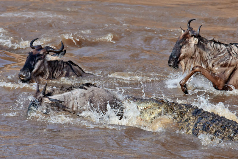 The crocodile attacks the wildebeest in river Mara. The crocodile attacks the wildebeest, Masai Mara Game Reserve, Kenya royalty free stock photos