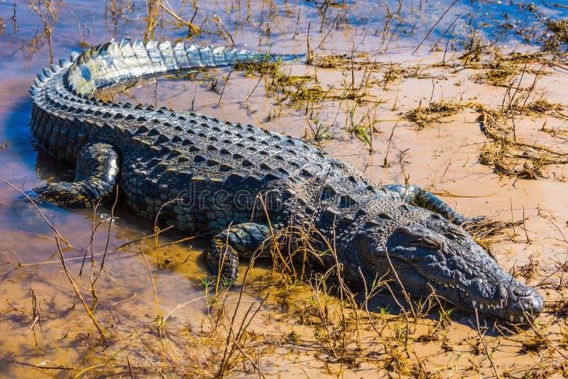 Crocodile au Botswana photos libres de droits