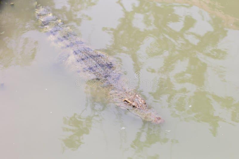 Crocodile avec en surface principal image stock
