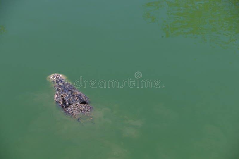 Crocodile avec en surface principal photo libre de droits