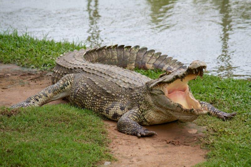 Crocodile avec la bouche ouverte photographie stock libre de droits