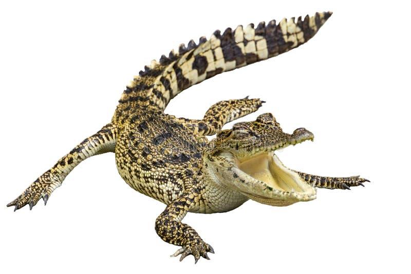 Crocodile avec le fond blanc d'isolement image libre de droits