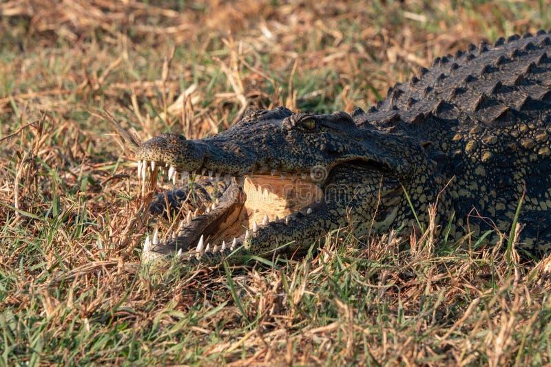 Crocodile avec les dents de repr?sentation grandes ouvertes de bouche images stock