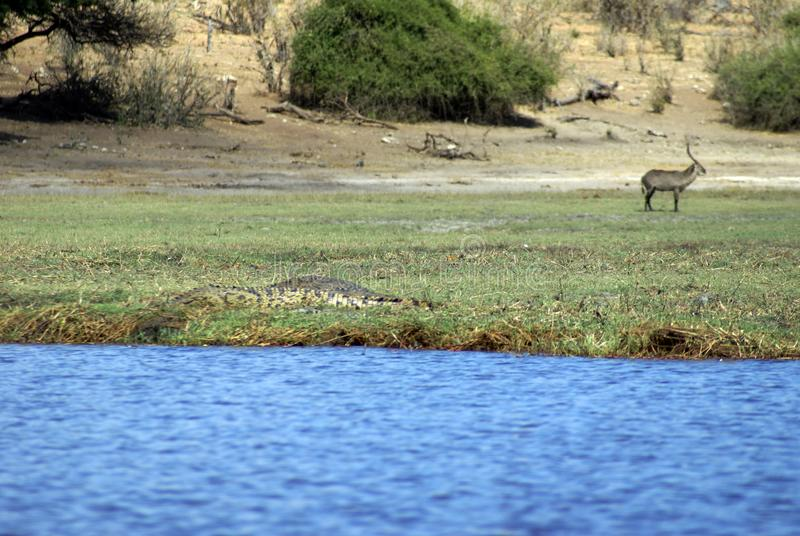 Crocodile on the bank of a river. Nile crocodile in the grass on the bank of the Chobe River with a waterbuck in the background in Chobe National Park, Botswana stock image