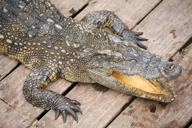 Crocodile baring mouth. From aerial view royalty free stock photography