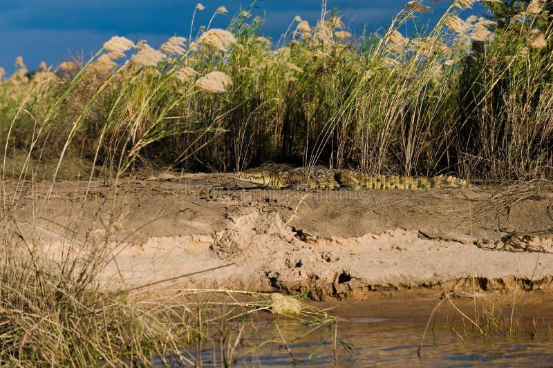 Crocodile basking in the sun. A crocodile sun bathing on the bank of the Zambezi river in Zimbabwe, Africa royalty free stock image
