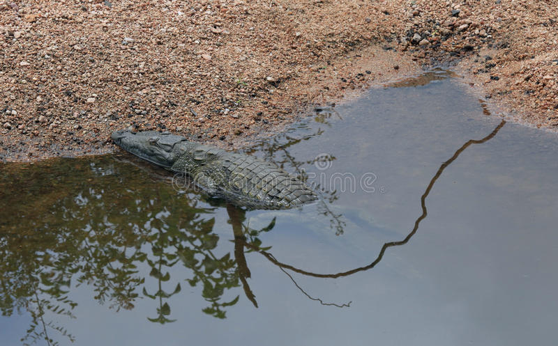 Crocodile basking in the sun at Kruger National Park. In South Africa stock images