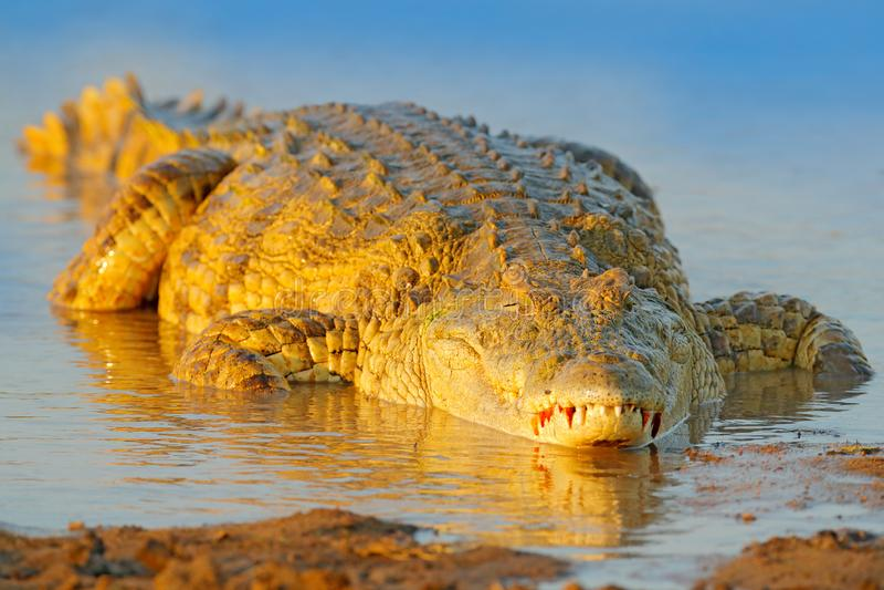 Crocodile with beautiful evening light. Nile crocodile, Crocodylus niloticus, with open muzzle, in the river bank, Okavango delta. Moremi, Botswana. Wildlife royalty free stock image
