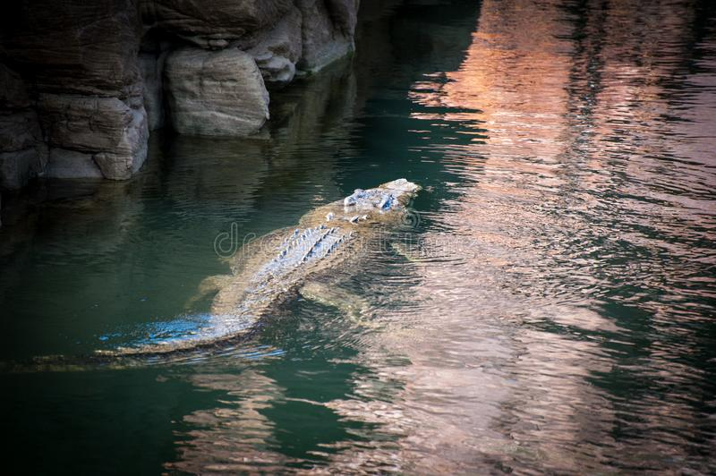 Crocodile from behind swimming on the surface of the water royalty free stock photography