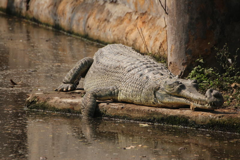 Crocodile. A big alligator or a crocodile resting. These are coldblodded reptiles and often requires to come out in sun to recharge their energy. They are royalty free stock image