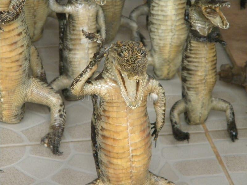 Crocodile bourré images libres de droits