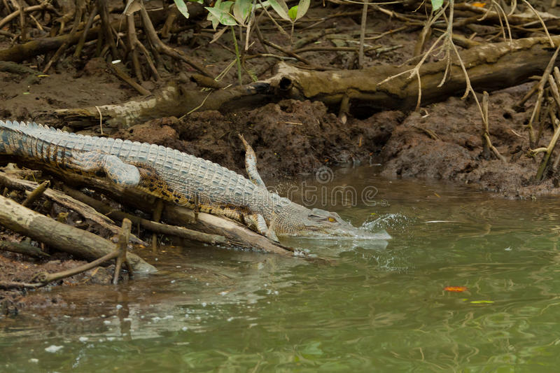 Crocodile in Brunei Darussalam stock photo