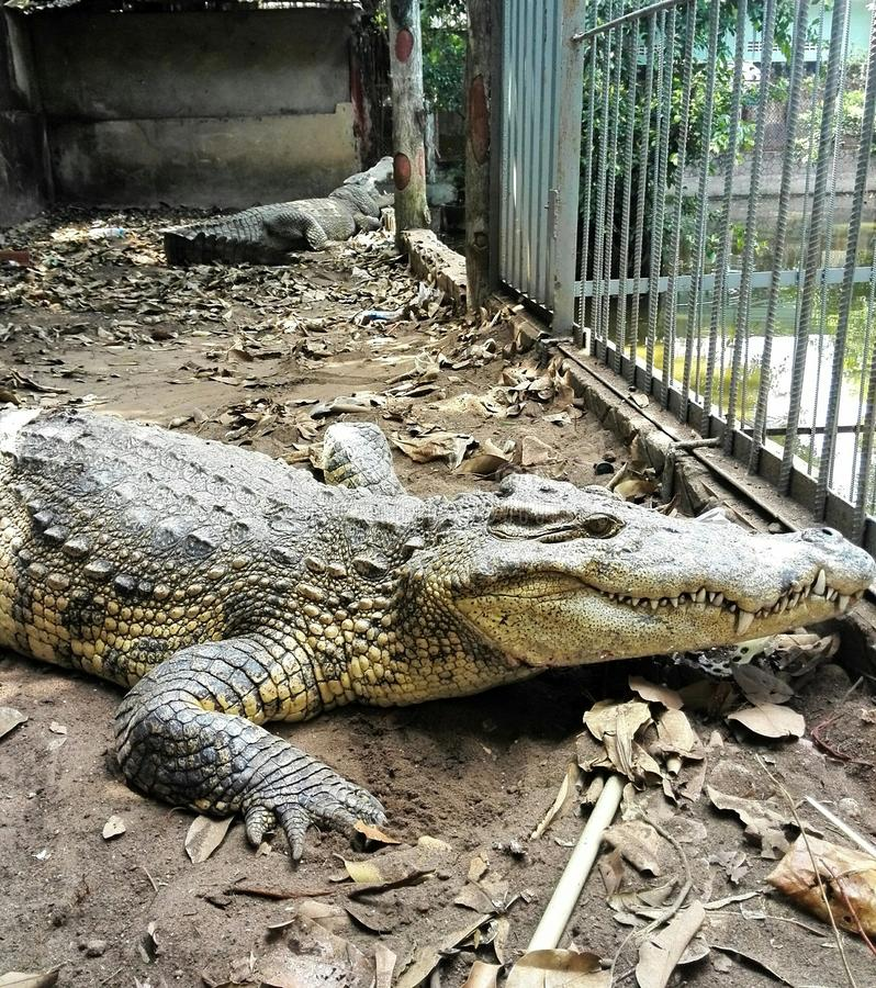Crocodile. On a cage royalty free stock photography