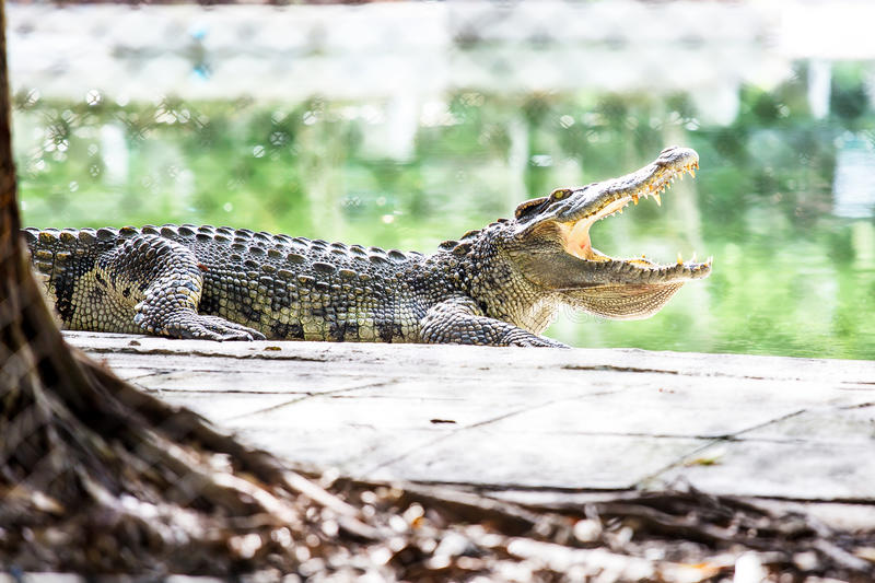 Download Crocodile in Captivity stock photo. Image of hunting - 34196162