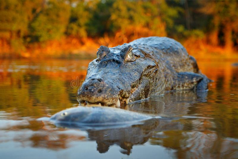 Crocodile catch fish in river water, evening light. Yacare Caiman, crocodile with piranha in open muzzle with big teeth, Pantanal. Bolivia. Detail wide angle royalty free stock photos