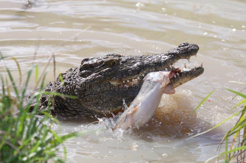 Crocodile Catching Fish royalty free stock photo