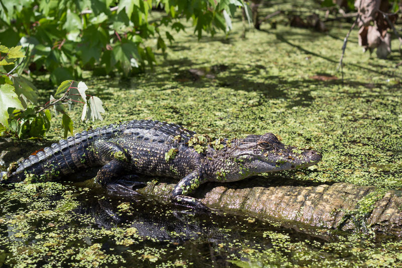 Crocodile cayman in the reserve stock photography