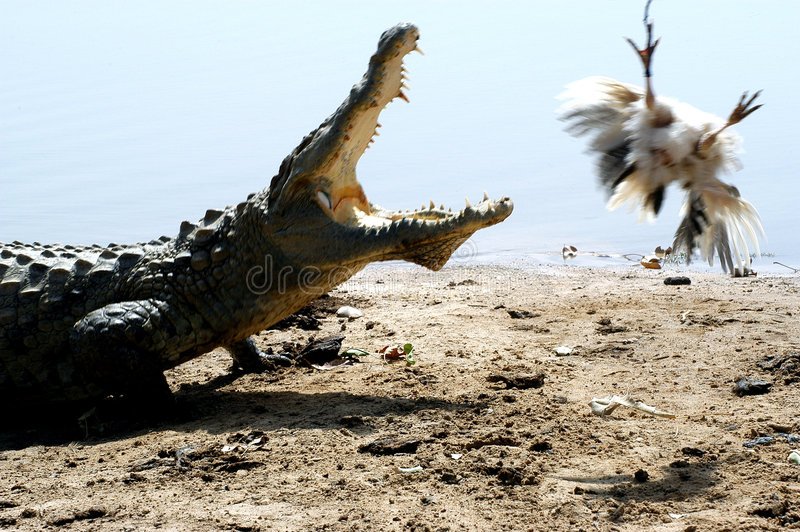 Crocodile after a chicken. A crocodile is being lured from the water with a chicken stock image