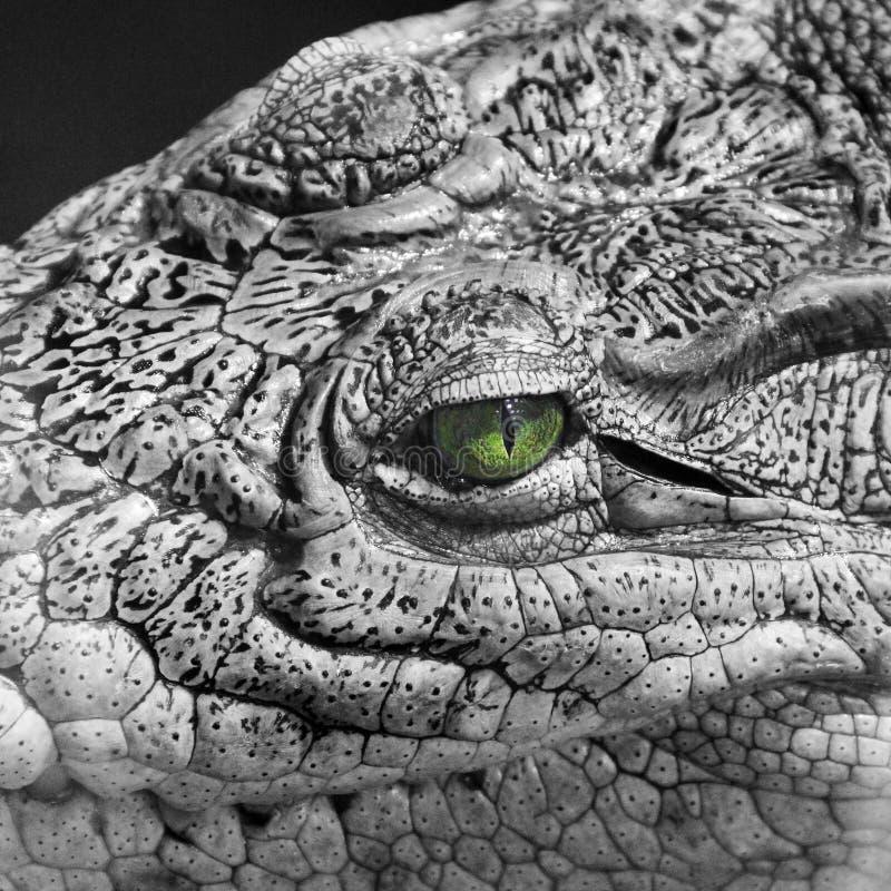 Crocodile close-up. Black and white photo. Colored eye.  royalty free stock photo